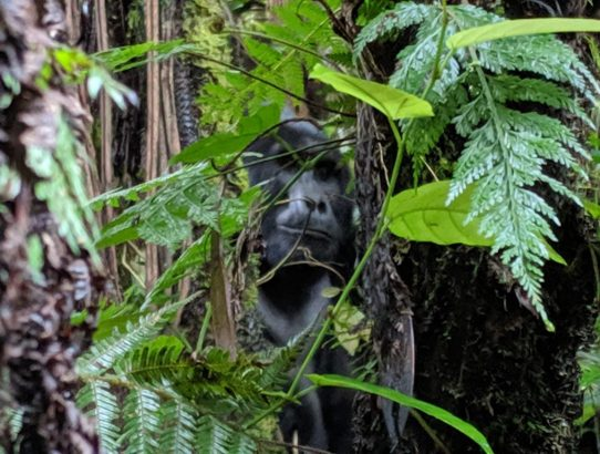 Why You Should Train Before Going Gorilla Tracking (Don't Be A Jerk!)