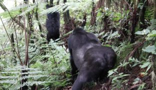 How To Go Gorilla Trekking In Uganda (A Comprehensive Guide!)