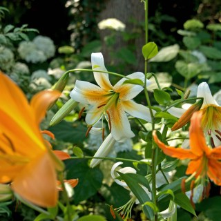 Hot Summer Lilies with Ken