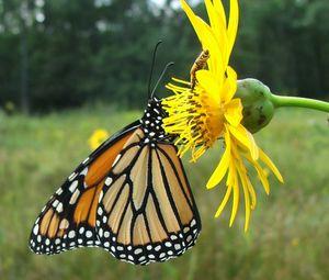 Monarch,__Jim_McCormac_crop