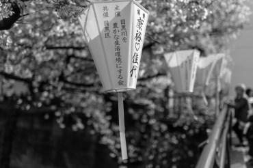 sakura b__3.jpg