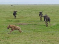 Wildebeest chasing off a marauding hyena