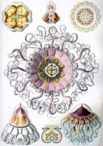 Peromedusae