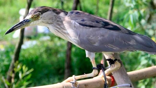 Ám ảnh đàn chim bị khâu mắt để nhử đồng loại ở Hà Tĩnh - Ảnh 5.