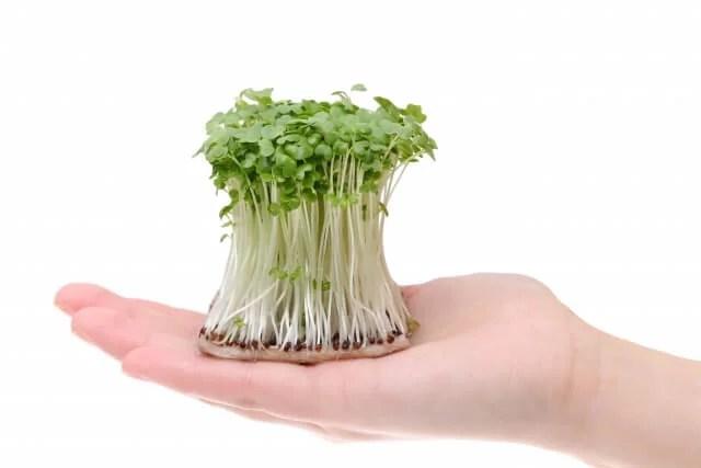 初心者でも簡単!かいわれ大根を美味しく栽培する育て方