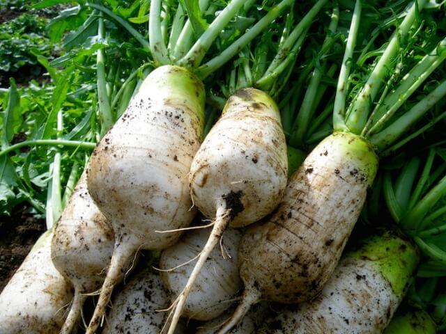 ねずみの様な形をしている辛みが強いねずみ大根の美味しい食べ方レシピ