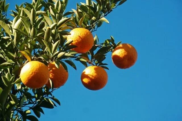和歌山県の奇跡の果物「じゃばら」の意外と知らない6つの効果