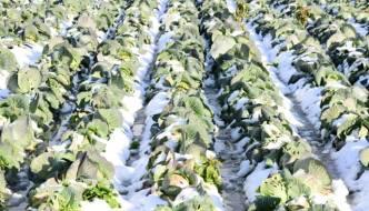 越冬野菜って何?越冬野菜について知っておきたいこと!