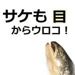 アスタキサンチンの効果効能!鮭が食べる目薬な理由と1日摂取量と副作用&アレルギーは?