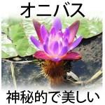 【画像】オニバス(鬼蓮)の花言葉や自生地・開花時期は? 種や実は販売してる?