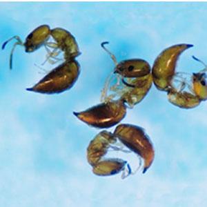 シバンムシアリガタバチ成虫