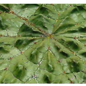 葉の上にトゲ