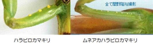 ハラビロカマキリ
