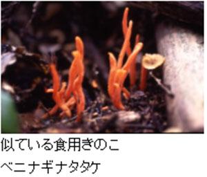 カエンタケに似たキノコ