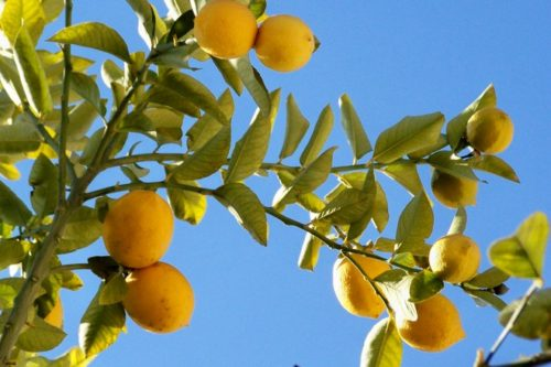 limones-1364599