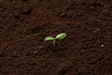 有機質肥料「油かす」と化学肥料でトマト栽培を成功させる