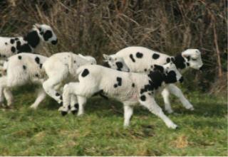 web-lambs-1