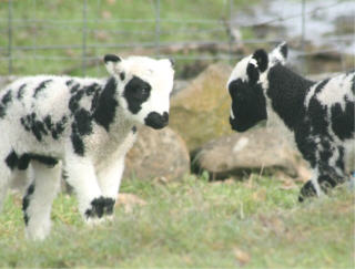 web-lambs-4