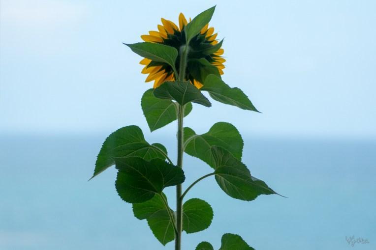 My Balcony Sunflower