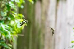 Zebra Longwing III
