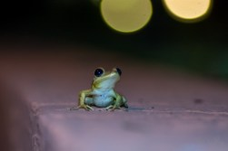 Cuban Tree Frog 2
