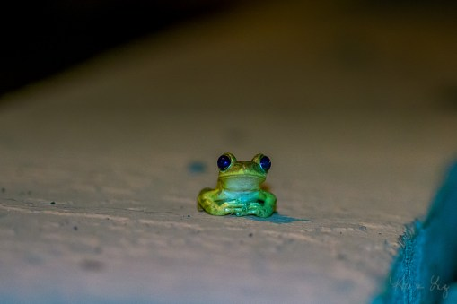 Cuban Tree Frog 1