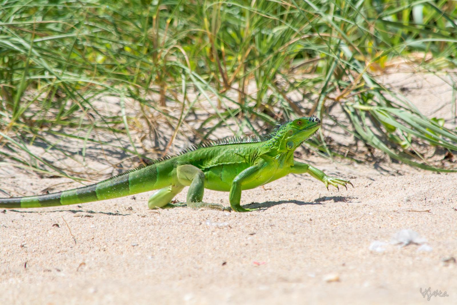 Iguana Walk Ken Amp Liz