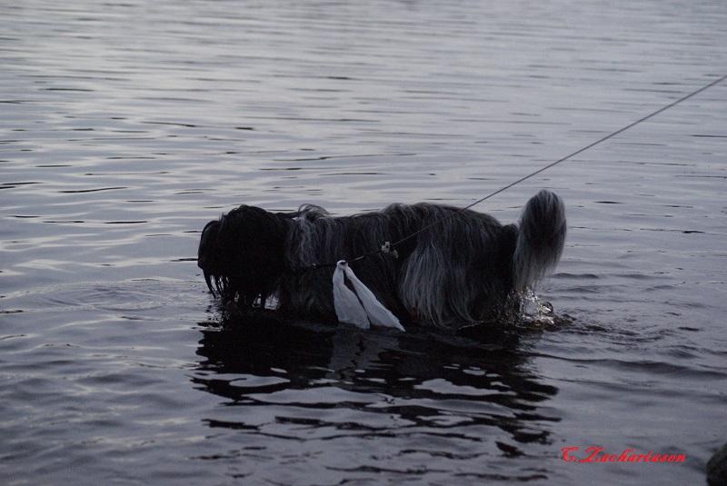 Schapendoes elsker vand