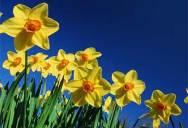 daffodils440