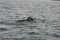 Knölval i Skjálfandi-bukten sekunderna innan den höjer stjärtfenan i luften och inleder sitt dyk.