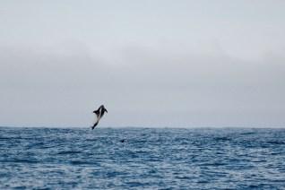 Hoppande vitnosdelfin strax utanför Skjálfandi-buktens mynning i juli 2015.