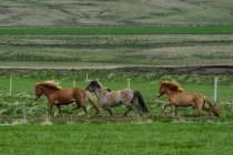Galopperande hästar nära Laugarvatn, sydvästra Island.