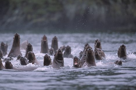Group of Barking Sea Lions