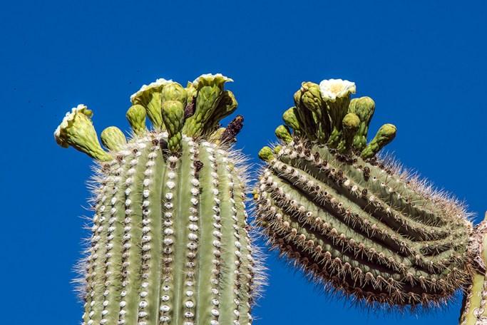 Saguaro flowers (1 of 1)-3 blog