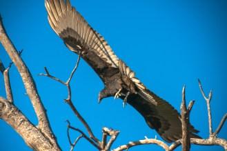 turkey-vulture-1-of-1-15-blog