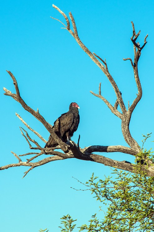 turkey-vulture-1-of-1-24-blog