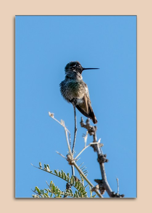 hummingbird-0535-blog-matted