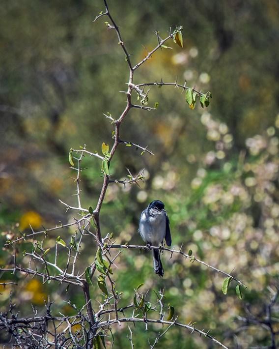 Black-capped Gnatcatcher-1086 blog