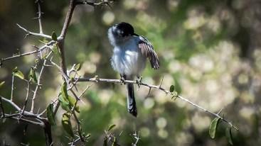 Black-capped Gnatcatcher-1088 blog