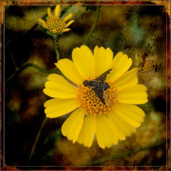 Bee on Brittlebush Grunge Art blog