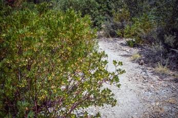 Manzanita Berries-1901 blog