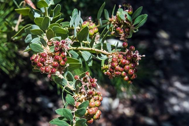 Manzanita Berries-1902 blog