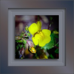 Monkeyflower Yellow-1929-1 blog