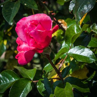 Rose Garden-1957 blog