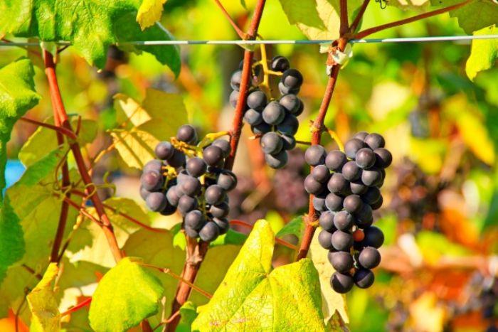 秋の青い果物一覧!