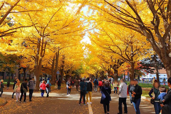 【景點】北海道大學銀杏葉全部變黃帶來漂亮黃金隧道現場直擊 (片) | 劍心.回憶
