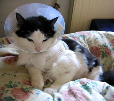 671px-Cat_with_Elizabethan_collar