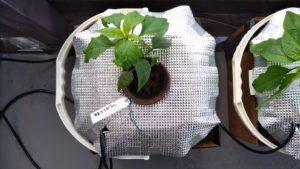 水耕栽培している甘長とうがらし