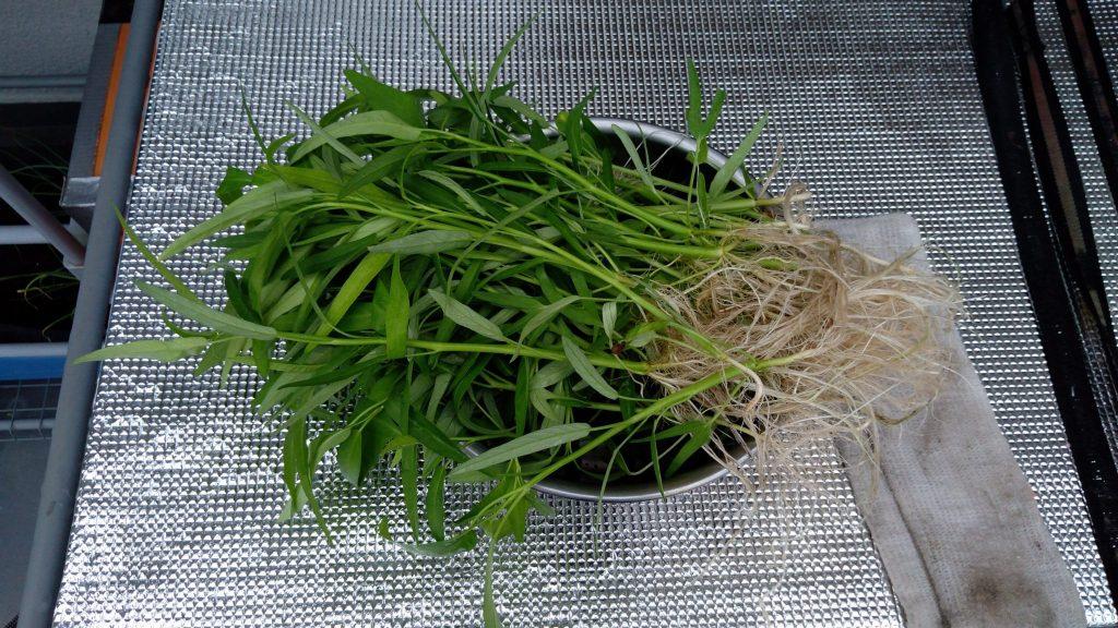 ハイドロカルチャーで栽培しているエンサイ(空心菜) 間引き菜