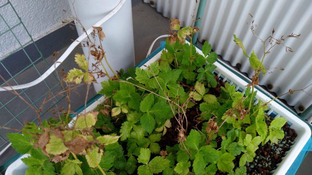 水耕栽培 リボベジ三つ葉の種